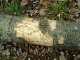 Detail of Barked Aspen Log.JPG
