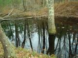 Living trees now standing in Honey Brook.JPG