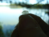 Fish Scale from Otter scat - Puffer Pond.JPG