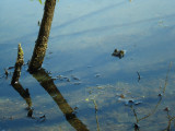 Frog in Puffer Pond.JPG