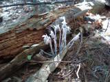 Indian Pipes growing in log JPG