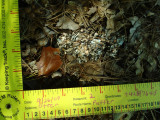 Otter Scat - Crayfish .JPG