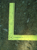 Racoon-  Digging for fungus roots-baton shapped in picture.JPG