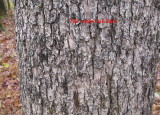 0706 white oak bark.jpg