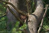 Raptor Nest in Big Pine