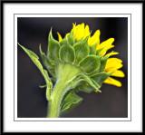 july 24 sunflower