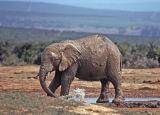 Elephant (muddy)