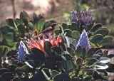 Cape Sugarbird on protea