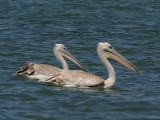 Pink-backed Pelican - Kleine Pelikaan - Pelecanus rufescens