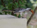 Red-billed Hornbill - Roodsnaveltok - Tockus erythrorhynchus