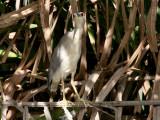 Black-crowned Night Heron - Kwak - Nycticorax nycticorax