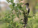Levaillant's Cuckoo - Levaillants Koekoek - Clamator levaillanti
