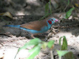 Red-cheeked Cordon-blue - Blauwfazantje - Uraeginthus bengalus