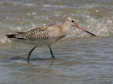 Bar-tailed Godwit - Rosse Grutto - Limosa lapponica