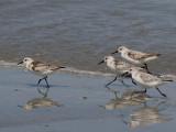 Sanderling - Drieteenstrandloper - Calidris alba