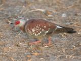 Speckled Pigeon - Gespikkelde Duif - Columba guinea