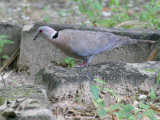 Red-eyed Dove - Roodoogduif - Streptopelia semitorquata