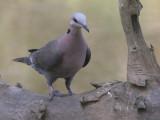 Vinaceous Dove - Wijntortel - Streptopelia vinacea