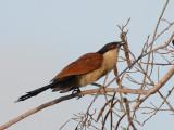 Senegal Coucal - Senegalese Spoorkoekoek - Sentropus senegalensis