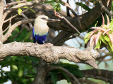 Blue-bellied Roller - Blauwbuikscharrelaar - Coracias cyanogaster