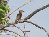 Rufous-crowned Roller - Roodkruinscharrelaar - Coracias naevia