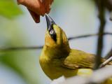 Black-necked Weaver - Zwartnekwever - Ploceus nigricollis