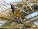 Oriole Warbler - Wielewaalzanger - Oriole Warbler - Hypergerus atriceps