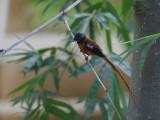 Red-bellied Paradise Flycatcher - Roodbuikparadijsmonarch - Terpsiphone rufiventer