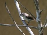 Mouse-brown Sunbird - Bruine honingzuiger - Anthreptes gabonicus