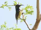 Variable Sunbird - Ornaathoningzuiger - Cinnyris venustus