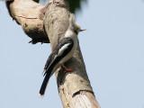 White-crested Helmet Shrike - Helmklauwier - Prionops plumatus
