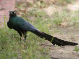 Long-tailed Glossy Starling - Groene Langstaartglansspreeuw -  Lamprotornis caudatus