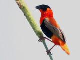 Northern Red Bishop - Oranjewever - Euplectes franciscanus