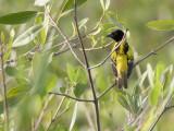 Yellow backed Weaver - Geelrugwever - Ploceus melanocephalus