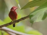 Red-billed Firefinch - Vuurvinkje - Lagonosticta senegala