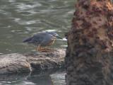 Striated Heron - Mangrove Reiger - Butorides striatus