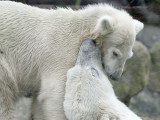 IJsbeer - Polar bear