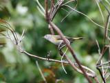 American Redstart - Amerikaanse Roodstaart  (female) - Setophaga ruticilla