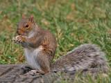 Grey Squirrel - Grijze Eekhoorn - Sciurus carolinensis