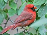Northern Cardinal - Rode Kardinaal - Cardinalis cardinalis