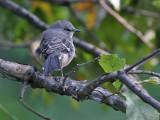 Northern Mockingbird - Spotlijster - Mimus polyglottos