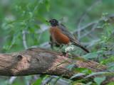 American Robin - Roodborstlijster - Turdus migratorius