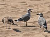 Laughing Gulls on Coney Island Beach