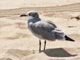Laughing Gull - Lachmeeuw - Larus atricilla