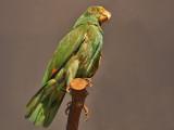 Joan Miró - Stuffed parrot on wood perch - 1936