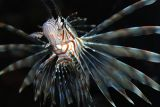 Lionfish - D80 camera