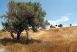 Olive Trees Cyprus