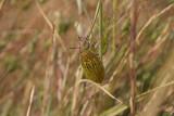 Yellow Beetle 02