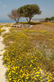 Yellow Flowers at Kourion