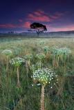 paepalanthus-at-sunset2.jpg